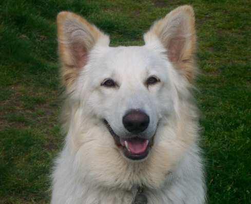 Kai My White German Shepherd. Bowl Guarding