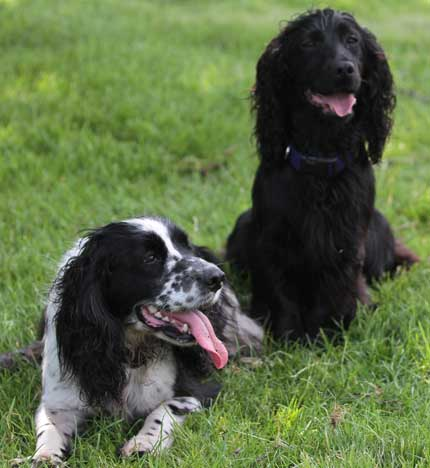 Two of my working Cocker Spaniels