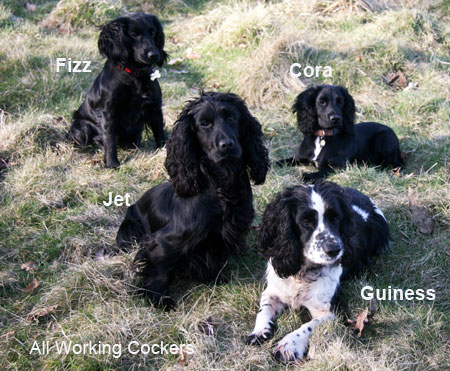 My four Working Cockers They are all trained gundogs