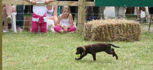 Lab puppy retrieving ball