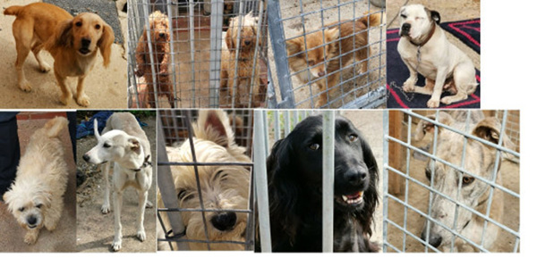 Police seize 49 Dogs on a raid on a Travellers Site in Orpington